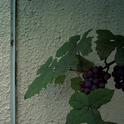 Grape Vine pon Wall