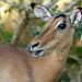 Lady Impala