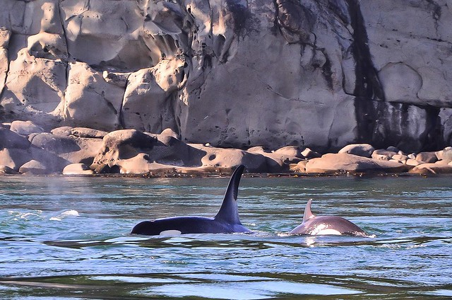 J-Pod Orcas playing in the rip tieds off candian shores