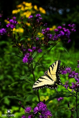 Tiger Swallowtail at Ft. Ancient