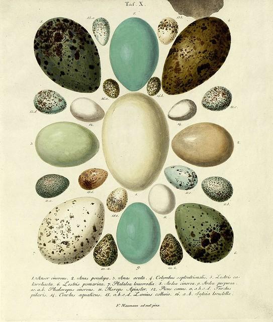 Die Eier der Vögel Deutschlands d, 1818