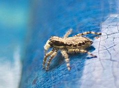 White-bearded Jumping Spider, , Menemerus fulvus No.2 (aeschylus18917) Tags: macro nature japan spider nikon g arachnid micro  nikkor  f28 vr jumpingspider pxt arachnida araneae 105mm 105mmf28 salticidae  105mmf28gvrmicro menemerus  d700 nikkor105mmf28gvrmicro   menemerusfulvus danielruyle aeschylus18917 danruyle druyle