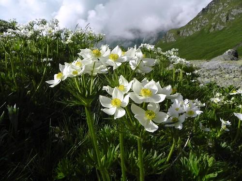Anémone à fleurs de narcisse - Agnello 074