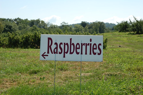 Pick Your Own Raspberries at Greig Farm by Eve Fox, Garden of Eating blog, copyright 2011