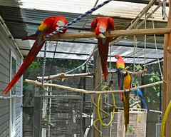 Hello, is it photo time again (RLBrinkman~in and out-mostly out) Tags: birds aviary pars macaws