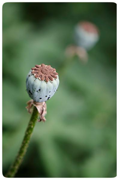 Poppy-seed-head