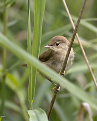 _MG_0012 Reed Warbler  (Acrocephalus scirpaceus), Brandon Marsh, Warwickshire 12Jul11 (Lathers) Tags: brandon warwickshire reedwarbler acrocephalusscirpaceus nbw canonef300mmf4lisusm brandonmarsh canon7d wildinthemidlands wkwt 12july11