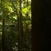 Pile Valley e suas arvores gigantes