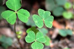 Treboles y ms Treboles (Jos Ramn de Lothlrien) Tags: irish green mexico hojas jr suerte trebol humedad treboles producciones lluvias malesa irishluck