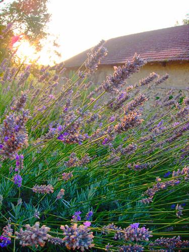 French Lavender by Danalynn C