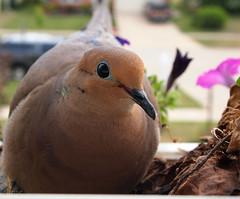 The Babies Are Here (btn1131 www.needGod.com) Tags: nature birds animals pen olympus mourningdove zuiko doves 1442mm epl1 mygearandme