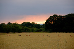 From the right hand side they quickly moved towards the left, then the frame was empty. (I_Am_Not_The_Preacher_Man) Tags: sunset summer orange yellow wheat running deer hidden crop exposed fallow leaping