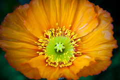 Macro Poppy (Katrina Koger) Tags: orange plant canada flower macro closeup photography ab alberta poppy lakelouise icelandicpoppy banffnationalpark