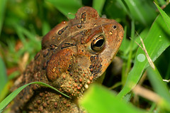Toad in the Grass (Rodger Coleman) Tags: grass tennessee toad kingstonsprings nikond7000