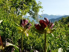 Gentiane pourpre=Gentiana purpurea - Bellachat 036