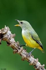 Orange Bellied Flowerpecker #8 (kengoh8888) Tags: orange thailand niceshot pentax ngc npc bellied k5 kkc flowerpecker colorphotoaward avianexcellence mygearandme dblringexcellence peregrino27life flickrstruereflection1 flickrstruereflection2 flickrstruereflection3 flickrstruereflection4 flickrstruereflection5