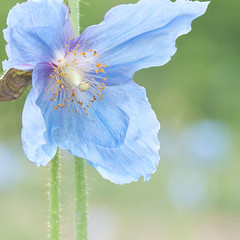 Tibetan Blue Poppy (fl*clover) Tags: flowers blue plants green bokeh planar 80mm carlzeiss  tqp nikond5000