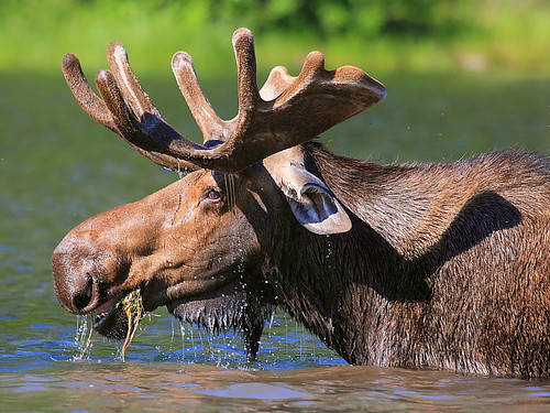 IMG_5123 Moose, Glacier National Park by ThorsHammer94539