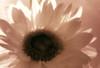 Sunflowers Infrared Pinhole 850nm - Nikon DSLR