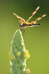 Dragonfly on Mullein DSC_2268 by Mully410 * Images