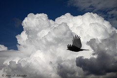 Die Krhe - The Crow (Sebastian.Schneider) Tags: sky cloud bird nature birds animal animals clouds germany deutschland tiere skies hessen cloudy natur himmel wolke wolken cumulus crow vgel tier vogel krhe wolkig ldk cumuli haiger lahndillkreis lahndill