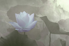 Lotus Flower - IMG_0306-1 (Bahman Farzad) Tags: flower macro yoga fog peace lotus relaxing peaceful meditation therapy lotusflower lotuspetal lotuspetals lotusflowerpetals lotusflowerpetal