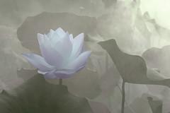Lotus Flower - IMG_0306-1 (Bahman Farzad) Tags: flower macro yoga fog peace lotus relaxing peaceful meditation therapy lotusflower lotuspetal lotuspetals lotusflowerpetals lotusflowerpetal