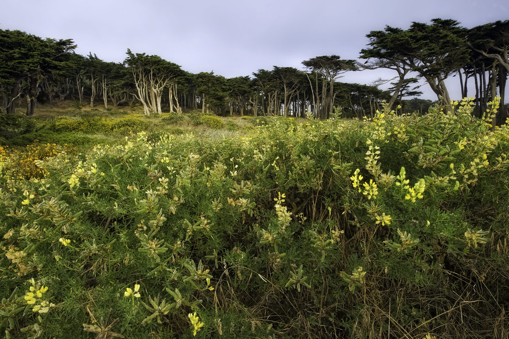 The cypress on the western edge of San Francisco