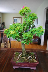 Bougainvillea (jaecaeks) Tags: bougainvillea bonsai