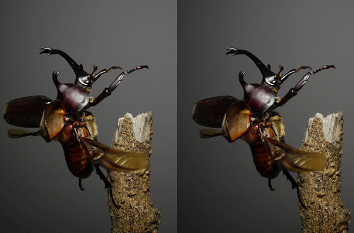 Trypoxylus dichotomus, stereo parallel view