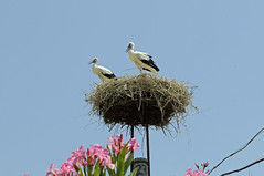 Nesting (Son of Groucho) Tags: bird turkey nest stork selcuk kusadasi 2011 basilicaofstjohn kusadasi2011