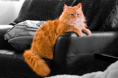 Question: Where Does a 17 LB. Maine Coon Cat Sit? (metadata man) Tags: bw orange color male cat out relax chair sitting relaxing chillin chilling sit mainecoon coloring hanging selective comfy smitty smithwick