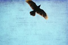 I've always wanted to fly (Laura O Photo) Tags: bird texture fly dream bluesky lookup raven soar