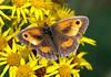 Gatekeeper (Mr Grimesdale) Tags: butterfly gatekeeper stevewallace britishbutterflies gatekeeperbuterfly mrgrimesdale