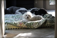 Sometimes, Biscuit is at the top of the heirarchy. 7/12 (SpooAddicts & the SpooCrew) Tags: biscuit 12monthsfordogs12