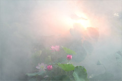 Lotus Flower (Bahman Farzad) Tags: flowers flower macro fog lotus lotusflower lotuspetal lotuspetals lotusflowerpetals lotusflowerpetal