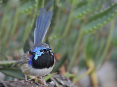 Variegated Fairy-wren (maureen_g) Tags: bird nature wildlife australia nsw hunterregion hunterbotanicgardens