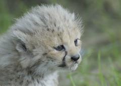 Cheetah cub close up (gentle lemur) Tags: cub cheetah chesterzoo acinonyxjubatussoemmeringii