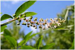 Fiore (Arianna Saturno) Tags: flowers italy flower verde green nature canon flora italia natura fiori fiore pv santalessio pavia oasi fiorellini oasisantalessio 1000d ariannasaturno