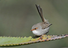 Attack Mode!!! (maureen_g) Tags: bird nature wildlife australia explore nsw fairywren hunterbotanicalgardens hunerregion