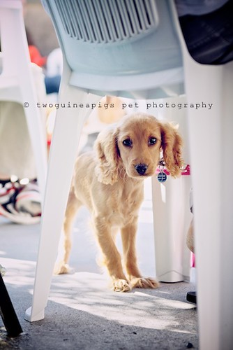 Cocker Spaniel by twoguineapigs pet photography