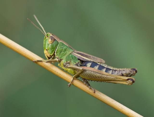 meadow grasshopper best