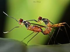 stilt legged flies (micropezidae) (aroon_kalandy) Tags: macro nature beauty bugs mating tamron calicut aroonkalandy stunningphotogpin photodaygpin bestphoto4gpinaug2011