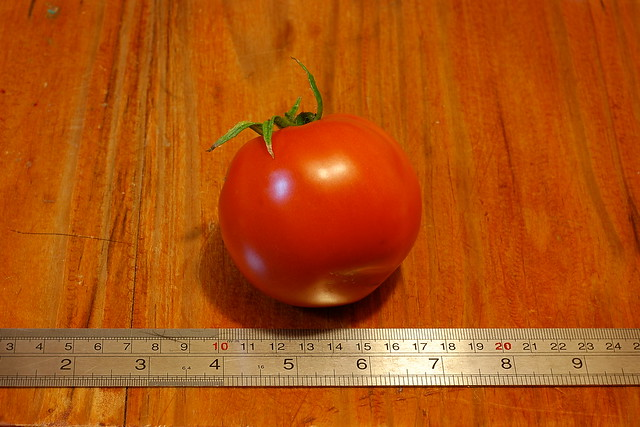 A large red tomato, with a ruler in shot showing it to be about 7cm across