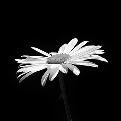 Space Negative Daisy (Ganymede: Photography) Tags: blackandwhite bw white black flower macro nature monochrome up closeup square blackwhite nikon close space minimal negativespace negative daisy elegant simple minimalist closer lightroom