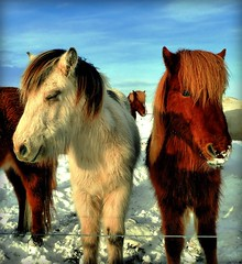 Two Icelandic Beauties (plus another trying to say hello!) (Gem E Piper) Tags: winter horses snow cold cute nature beautiful beauty animals outdoors island iceland furry europe day faces fuzzy snowy adorable bluesky friendly hiding nationalgeographic loh winterscene fourlegged northerneurope whitepowder icelandichorses 5photosaday winteryscene theunforgettablepictures platinumheartaward friendlyhorses snowyhorses blinkagain musictomyeyeslevel1 snowyanimals lpbetween