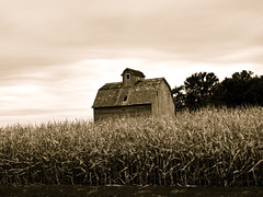 Cornstalked (LeicaNokota) Tags: leica old windows roof sky bw fall field sepia barn rural corn antique farm farming rustic weathered agriculture mn decaying stalks barnboard renvillecounty dlux4 cornstalked