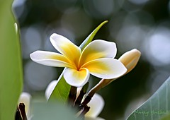 Frangipani under the bokeh (NURAY YUZBASI) Tags: white macro tree green yellow closeup turkey leaf dof blossom plumeria bokeh 100mm september frangipani bud beyaz ankara iek yeil sar aa eyll sonbahar yaprak tomurcuk hbw fantasticflower canonef100mmf28macro canonrebelxti saariysqualitypictures autumn2011 hintmabetiei