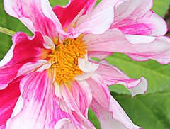 Pink Dahlia 2 (rene_26) Tags: pink dahlia flower flora