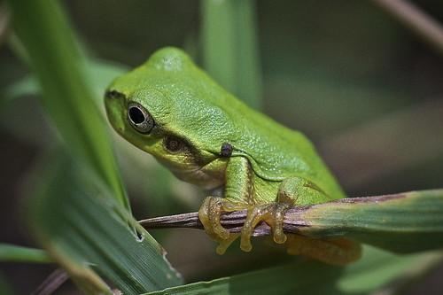雨蛙の赤ちゃん